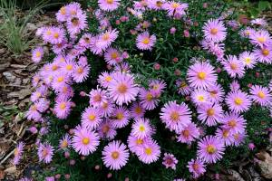Aster Herbstgruss vom Bresserhof