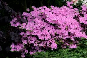 Azalia japońska 'Kermesina Rosé'