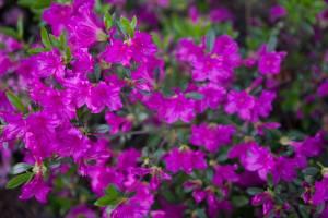Azalia japońska 'Hiroko / Geisha Purple'