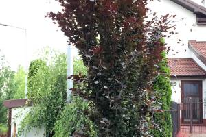 Buk pospolity 'Dawyck Purple'