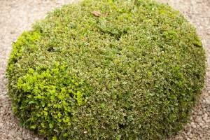Bukszpan wieczniezielony Elegantissima
