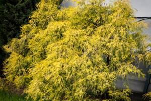 Cyprysik groszkowy 'Filifera Aurea'