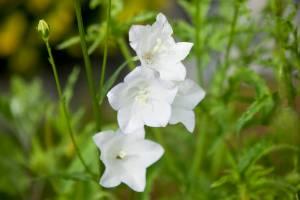 Dzwonek brzoskwiniolistny Alba