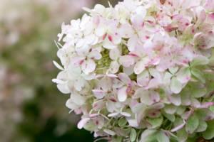 Hortensja bukietowa 'Grandiflora'