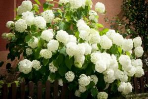 Hortensja krzewiasta/drzewiasta 'Annabelle'