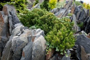 Sosna górska Carstens