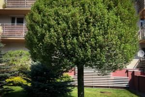 Wiśnia osobliwa Umbraculifera