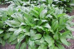 Funkia lancetolistna 'Lancifolia'