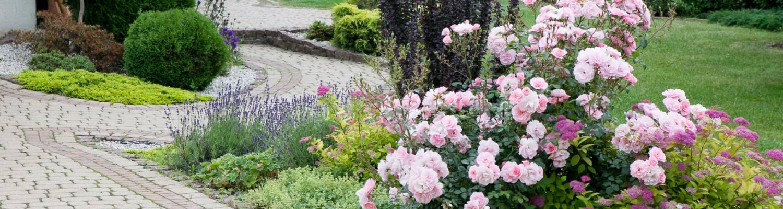 Berberys Thunberga 'Helmond Pillar', Lawenda wąskolistna 'Dwarf Blue', Róża 'Bonica', Tawuła japońska 'Golden Princess'