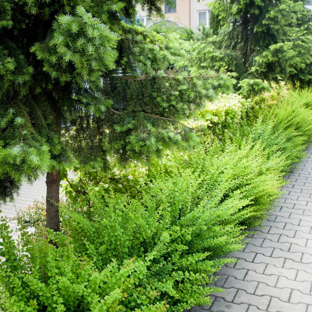 Berberys Thunberga Green Carpet 183 Berberis Thunbergii