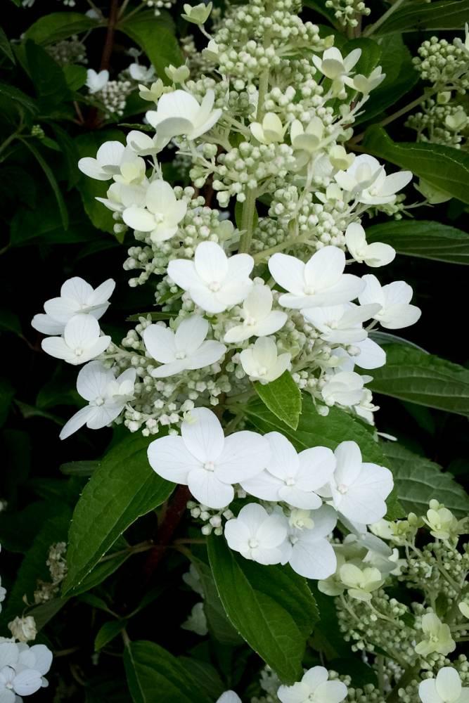 hortensja bukietowa 39 kyushu 39 hydrangea paniculata. Black Bedroom Furniture Sets. Home Design Ideas
