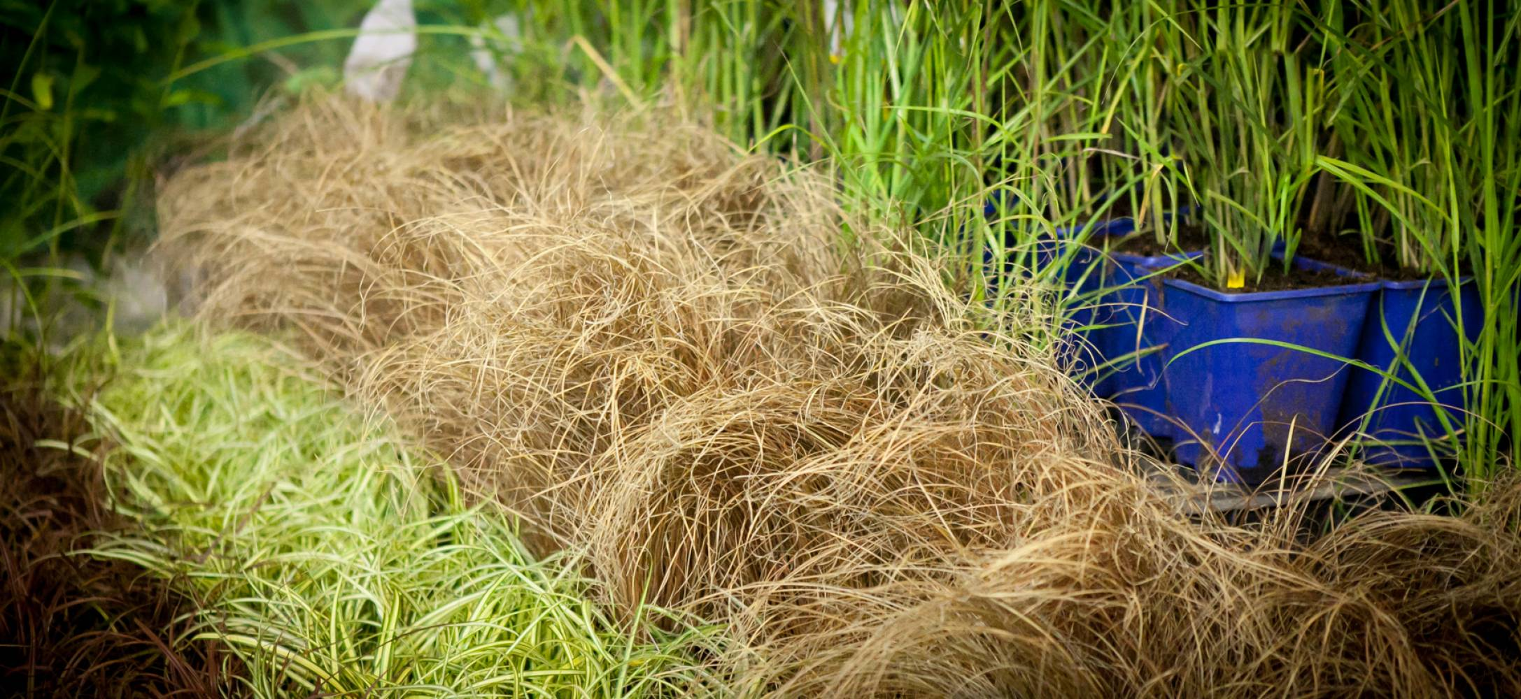 Turzyca włosowa \'Bronze Form\' · Carex comans