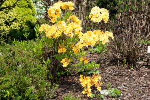 Azalia wielkokwiatowa 'Anneke'