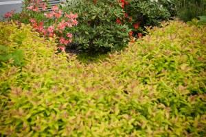 Do kompozycji na rabatę słoneczną z roślin kwasolubnych