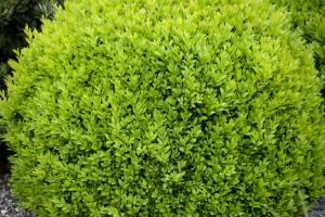 Bukszpan wieczniezielony Suffruticosa