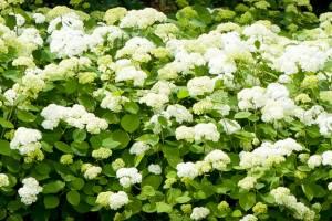 Hortensja krzewiasta/drzewiasta 'Grandiflora'