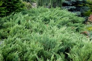 Jałowiec sabiński 'Tamariscifolia'