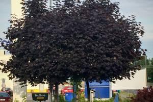 Klon zwyczajny 'Faassen's Black'