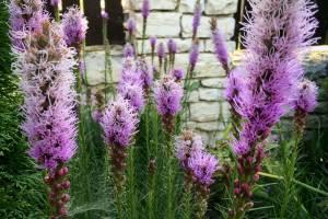 Liatra kłosowa 'Floristan violet'