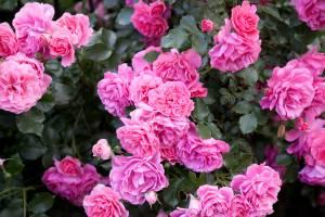 Róża 'Rosarium Uetersen'