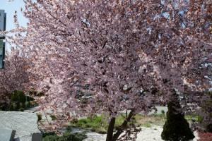 Śliwa wiśniowa 'Pissardii / Atropurpurea'