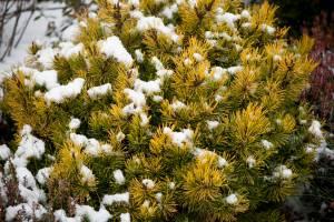 Sosna górska Winter Gold