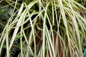 Turzyca oszimska Evergold