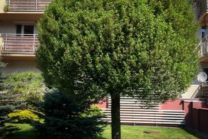 Wiśnia osobliwa 'Umbraculifera'