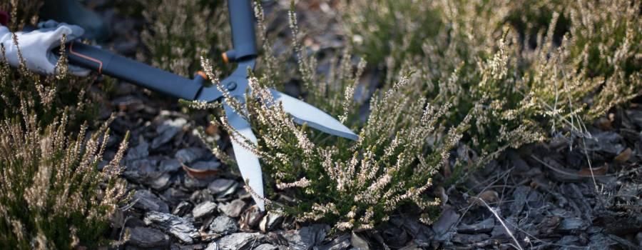 Cięcie wrzosów polega na skróceniu kępy o wysokość przekwitłych kwiatostanów.